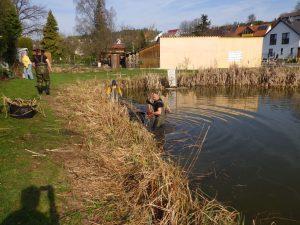 1. April 2017 Reinigungsaktion des Dorfweihers in Dietersdorf (TK) - Schilfgürtel