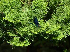 Blauflügel-Prachtlibelle (Calopteryx virgo) (RPS)