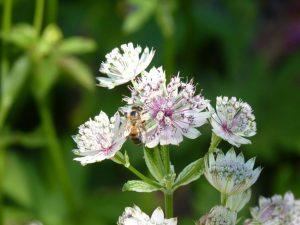 Große Sterndolde (Astrantia major) mit Biene (RPS)