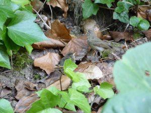 Nachtigall (Luscinia megarhynchos) (RPS) ???