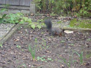 Eichhörnchen (Sciurus vulgaris) (RPS)