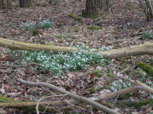 Kleines Schneeglöckchen (Galanthus nivalis) (RPS)